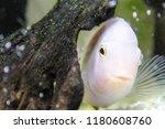 cute albino perch is hiding... | Shutterstock . vector #1180608760