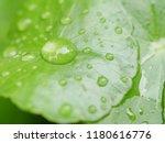 Droplet On Centella Asiatica...