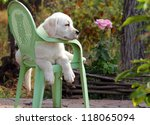 Stock photo yellow labrador puppy in the garden sitting on an old green chair 118065094