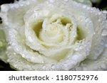 portrait of white roses in the... | Shutterstock . vector #1180752976