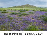 Mongolian steppe with grass and violet flowers in summer. Nature background.
