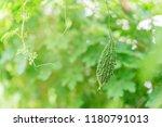 wild bitter gourd  bitter... | Shutterstock . vector #1180791013
