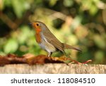 portrait of a robin in autumn | Shutterstock . vector #118084510