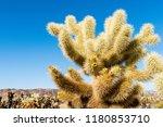 Cholla cactus (Cylindropuntia bigelovii) known as Teddy-bear cholla in the Cholla Cactus Garden in Joshua Tree National Park, California