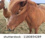 beautiful icelandic horse | Shutterstock . vector #1180854289