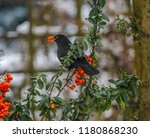 Blackbird Bird And Red...