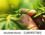 farmer is examining cannabis... | Shutterstock . vector #1180907383