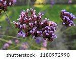 """argentinian vervain"" flowers ...   Shutterstock . vector #1180972990"