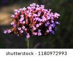 """argentinian vervain"" flowers ...   Shutterstock . vector #1180972993"