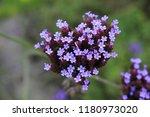 """argentinian vervain"" flowers ...   Shutterstock . vector #1180973020"