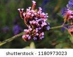 """argentinian vervain"" flowers ...   Shutterstock . vector #1180973023"