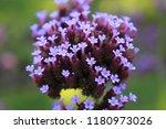 """argentinian vervain"" flowers ...   Shutterstock . vector #1180973026"