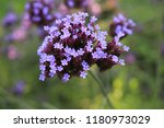"""argentinian vervain"" flowers ...   Shutterstock . vector #1180973029"