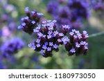 """argentinian vervain"" flowers ...   Shutterstock . vector #1180973050"