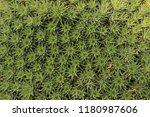 """ground bromelia"" plant in st....   Shutterstock . vector #1180987606"