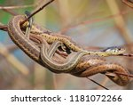 two snakes intertwined on a... | Shutterstock . vector #1181072266
