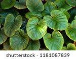 green leaf background. green... | Shutterstock . vector #1181087839