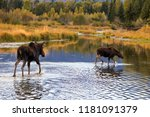 A Moose And Her Calf Waling...