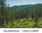 coniferous forest in highlands. ... | Shutterstock . vector #1181111809