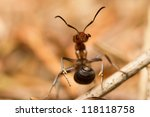 A European Red Wood Ant ...
