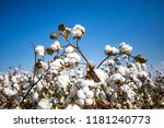 cotton field agriculture ... | Shutterstock . vector #1181240773