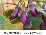 Organic Purple Eggplants With...