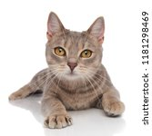 adorable grey kitty with yellow ... | Shutterstock . vector #1181298469