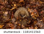 hedgehog  wild  native ... | Shutterstock . vector #1181411563