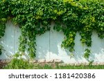 green ivy hanging on the wall... | Shutterstock . vector #1181420386