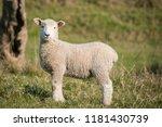 baby lamb in springtime   Shutterstock . vector #1181430739