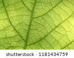 closeup of green leaf with veins | Shutterstock . vector #1181434759