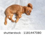 cute puppy relaxing on the soft ... | Shutterstock . vector #1181447080