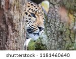 amur leopard emergese from the... | Shutterstock . vector #1181460640