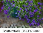 blue lobelia sapphire flowers ... | Shutterstock . vector #1181473300