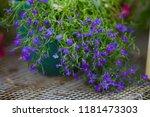 blue lobelia sapphire flowers ... | Shutterstock . vector #1181473303