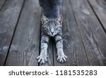 Stock photo gray cat is stretching small and cute baby kitten is doing yoga on the wooden floor 1181535283