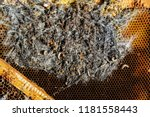 wax moth larvae on an infected... | Shutterstock . vector #1181558443