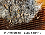 wax moth larvae on an infected... | Shutterstock . vector #1181558449