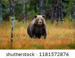 beautiful brown bear walking... | Shutterstock . vector #1181572876
