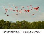 scarlet ibis  eudocimus ruber ...   Shutterstock . vector #1181572900