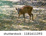 red forest duiker looking for... | Shutterstock . vector #1181611393