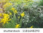 yellow wildflowers in a meadow. ... | Shutterstock . vector #1181648293