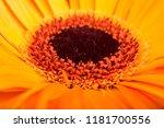 sun flower close up | Shutterstock . vector #1181700556