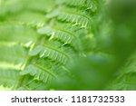 natural green fern leaf... | Shutterstock . vector #1181732533