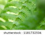natural green fern leaf... | Shutterstock . vector #1181732536