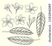 vector vintage set of plumeria... | Shutterstock .eps vector #1181846089