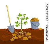 harvesting potatoes  picking up ... | Shutterstock .eps vector #1181875699