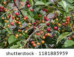 Small photo of cherry tree close up with almost red cherries ready for harvest