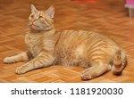 Stock photo funny tabby red kitten ginger red kitten 1181920030