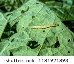 a worm eating the leaf of soy... | Shutterstock . vector #1181921893